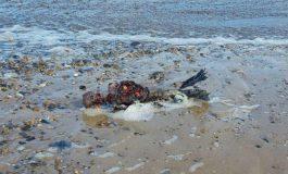 Paseaba por playa inglesa y halla supuesto cadáver de sirena