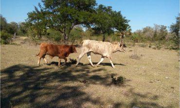 Localizan Una Vaca y Dos Becerros con Reporte de Robo