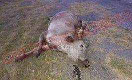 Arrollan y matan a vaca en la Matehuala