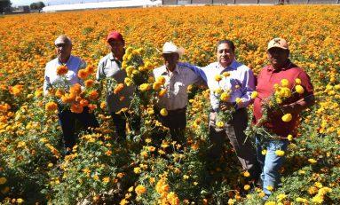 Levantan cosecha de flor de cempasúchil; 14 hectáreas se cultivan en campo soledense