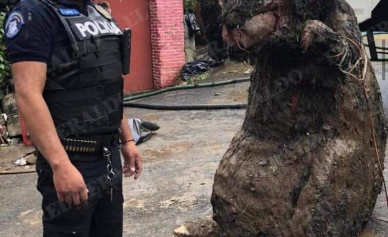 """""""RATA GIGANTE"""" ES ENCONTRADA EN EL DRENAJE DE LA CIUDAD DE MÉXICO."""
