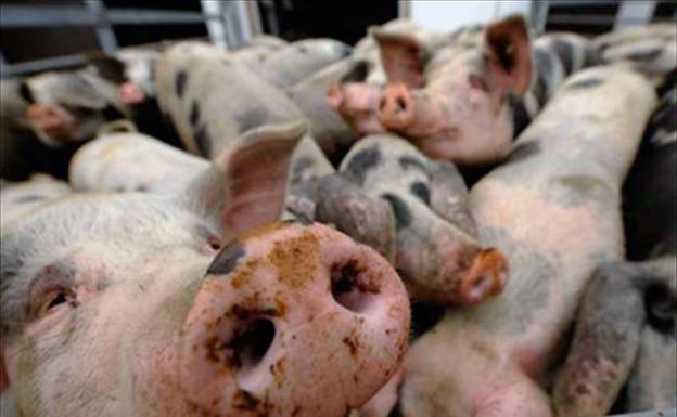 Confirman en Alemania primer caso de peste porcina en animales salvajes